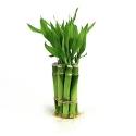 Bambú da Sorte