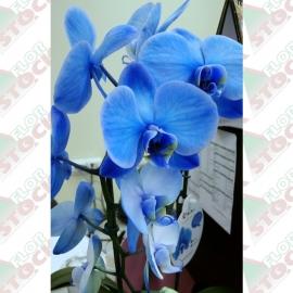 Orquídea phalaenopsis pote 1ª linha haste simples tingida