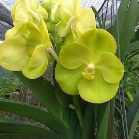 Orquídea vanda pote 1ª linha haste simples amarela