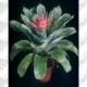 Bromélia aechemea pote 15cm 1ª linha haste simples rosa