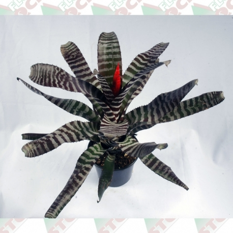 Bromélia aechemea pote 15cm 1ª linha haste simples vermelha