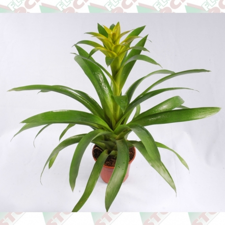Bromélia guzmania pote 15cm 1ª linha haste simples