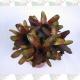 Bromélia neoregelia pote 15cm 1ª linha haste simples exótica