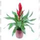 Bromélia vriesia  pote 15cm 1ª linha haste simples vermelha