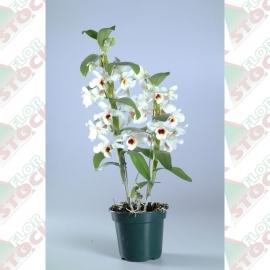 Orquídea dendrobium pote 15cm 1ª linha haste simples branca
