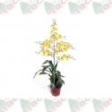 Orquídea oncidium pote 15cm 1ª linha haste simples amarela