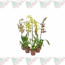 Orquídea oncidium pote 15cm 1ª linha haste simples variada