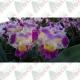 Orquídea catleya 1ª linha exótica